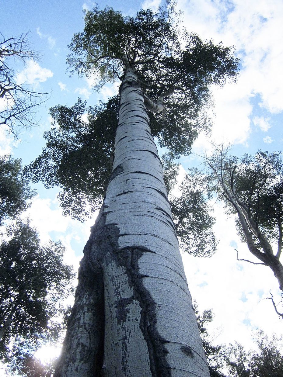 The North Routt County aspen tree has a fire scar at the base and healthy foliage during the summer.