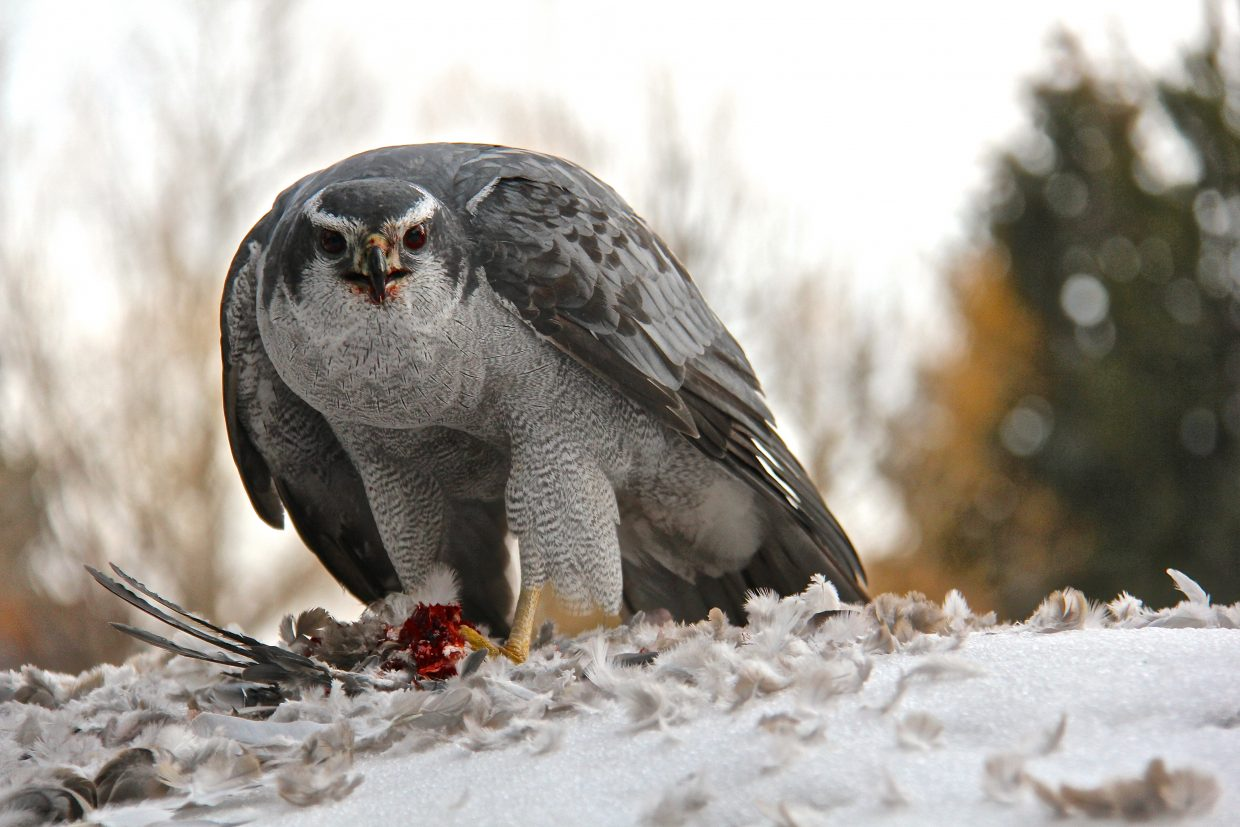 It's dinner time for this hungry goshawk of Old Town Steamboat. Submitted by Eric Schankerman.