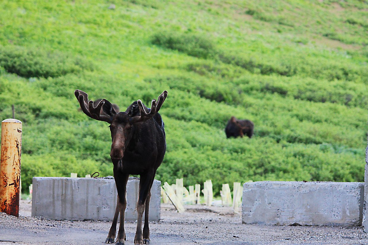 Moose on Rabbit Ears Pass. Submitted by Stephen Auter.