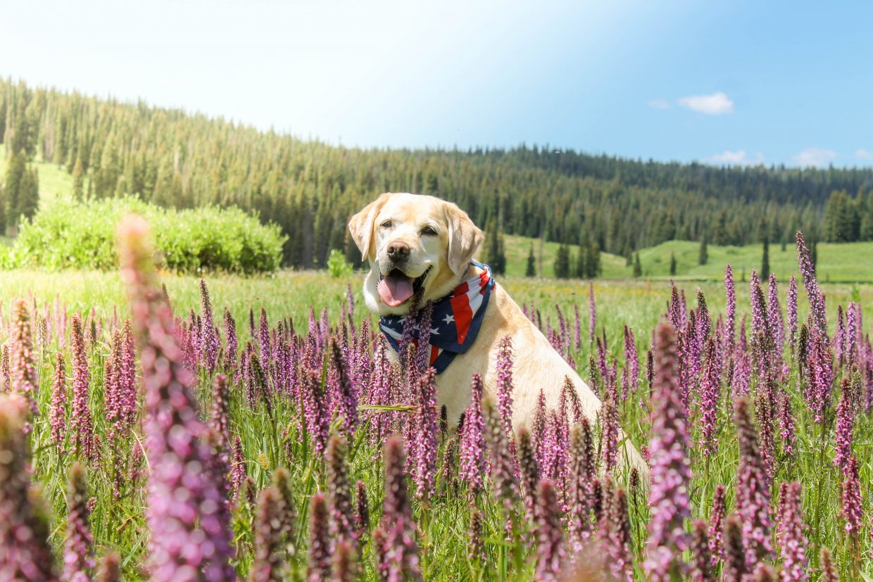 Riley at Lake Dumont stopping to smell the native Elephant Flowers