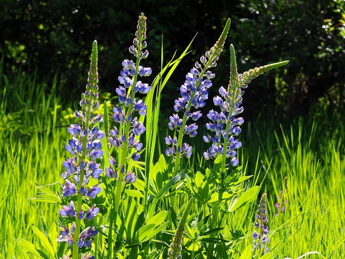 Jeff Hall submitted this photo of some lupines.