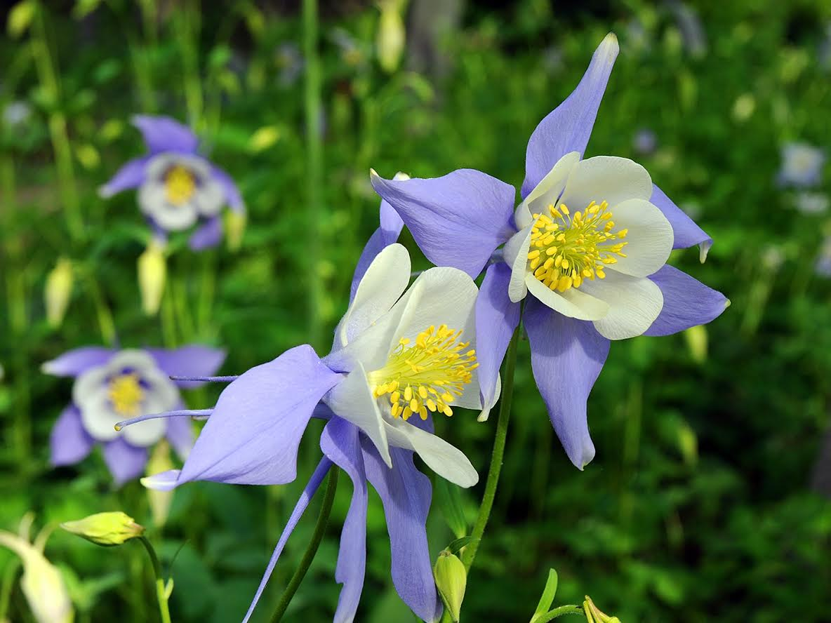 Columbines. Submitted by Jeff Hall.