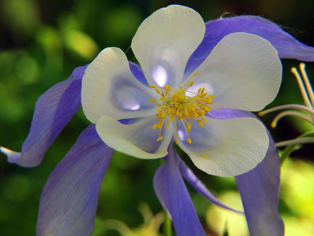 Columbines in bloom at Yampa River Botanic Park. Submitted by Jeff Hall.