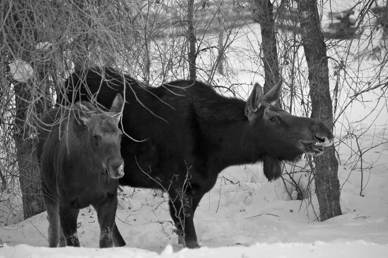 Moose on the loose on Butcherknife Trail. Submitted by: Jennifer Holdeman