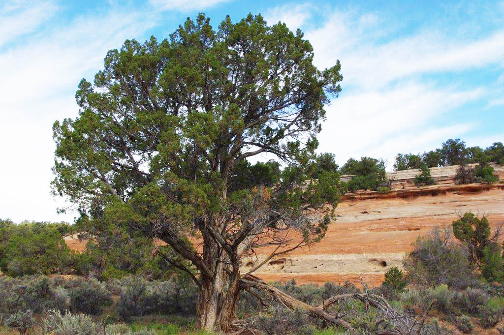 At Colorado National Monument, the champion Utah juniper tree has a circumference of 108 inches and a height of 31 feet.