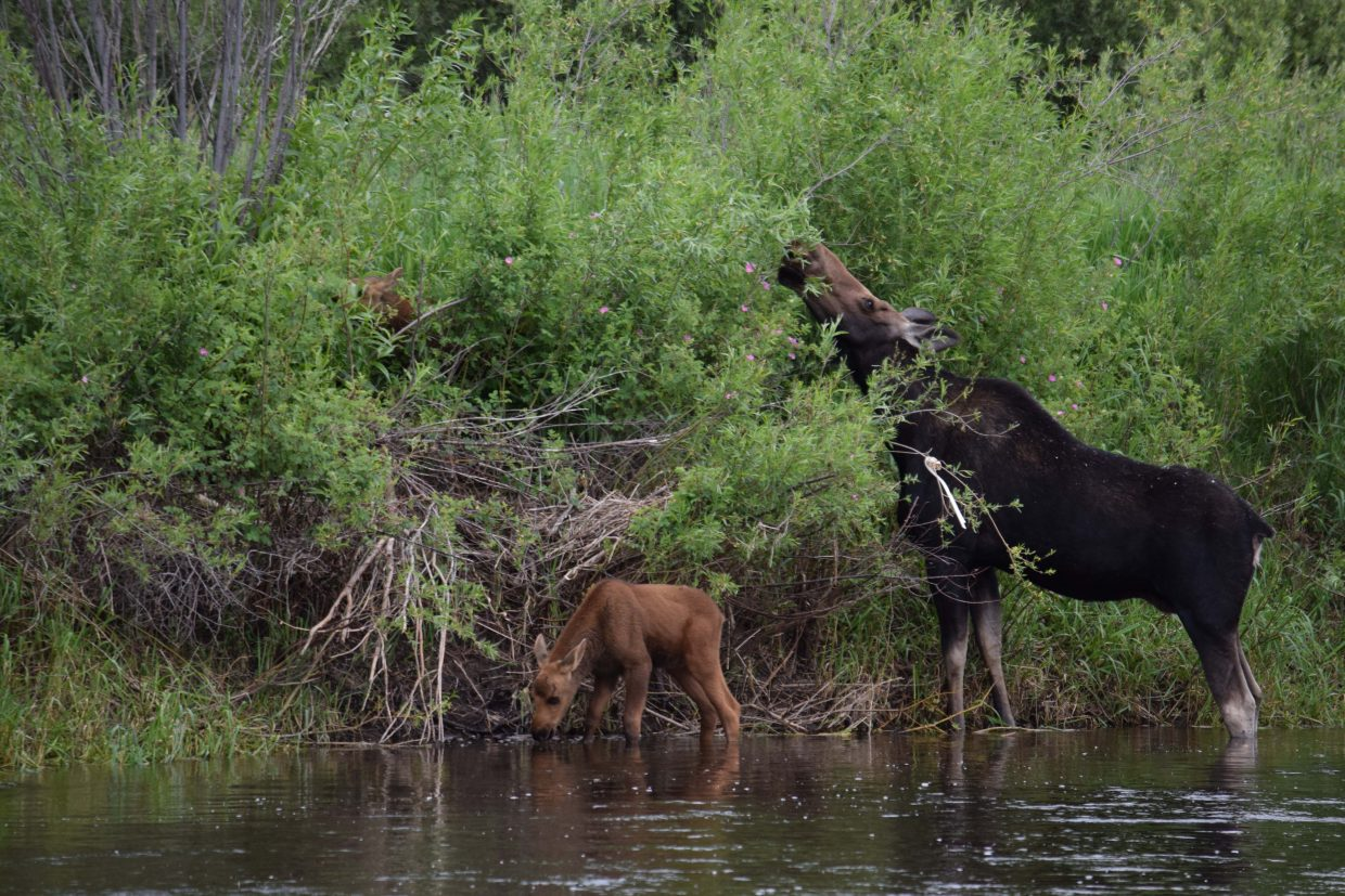 A moose family in Rotary Park. Submitted by Keith Mikkelson.