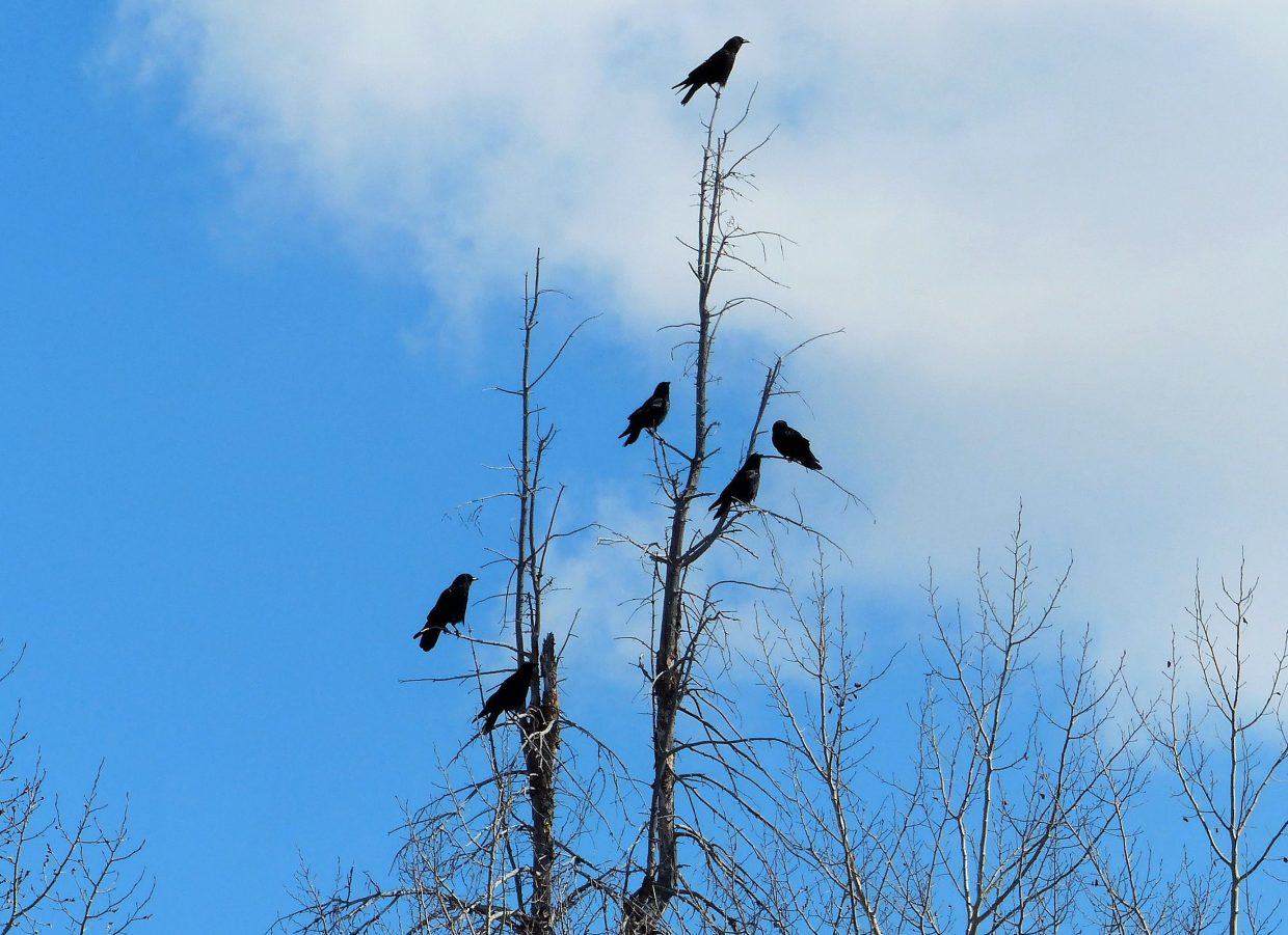 The picture of the crows perched precariously on the top of a tree was taken along Fish Creek Falls on Wednesday morning. Submitted by Shannon Lukens.