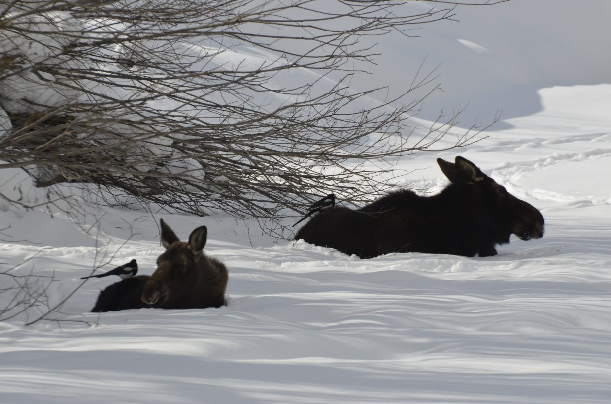 A baby moose and its mother enjoy a pow day along the river with two of their bird friends. Submitted by Lacey Slifer.