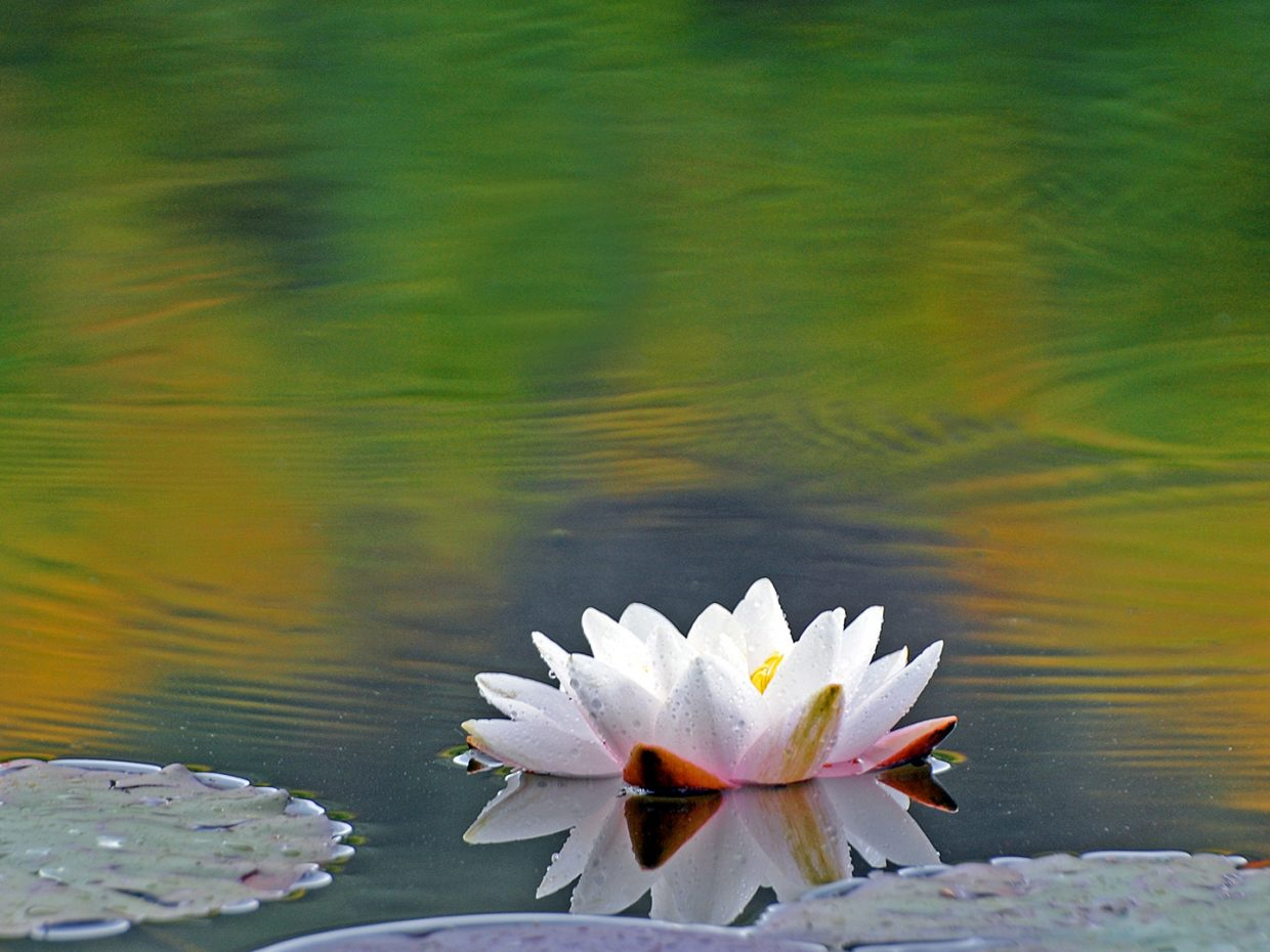 Water lily with a bit of fall color. Submitted by: Jeff Hall