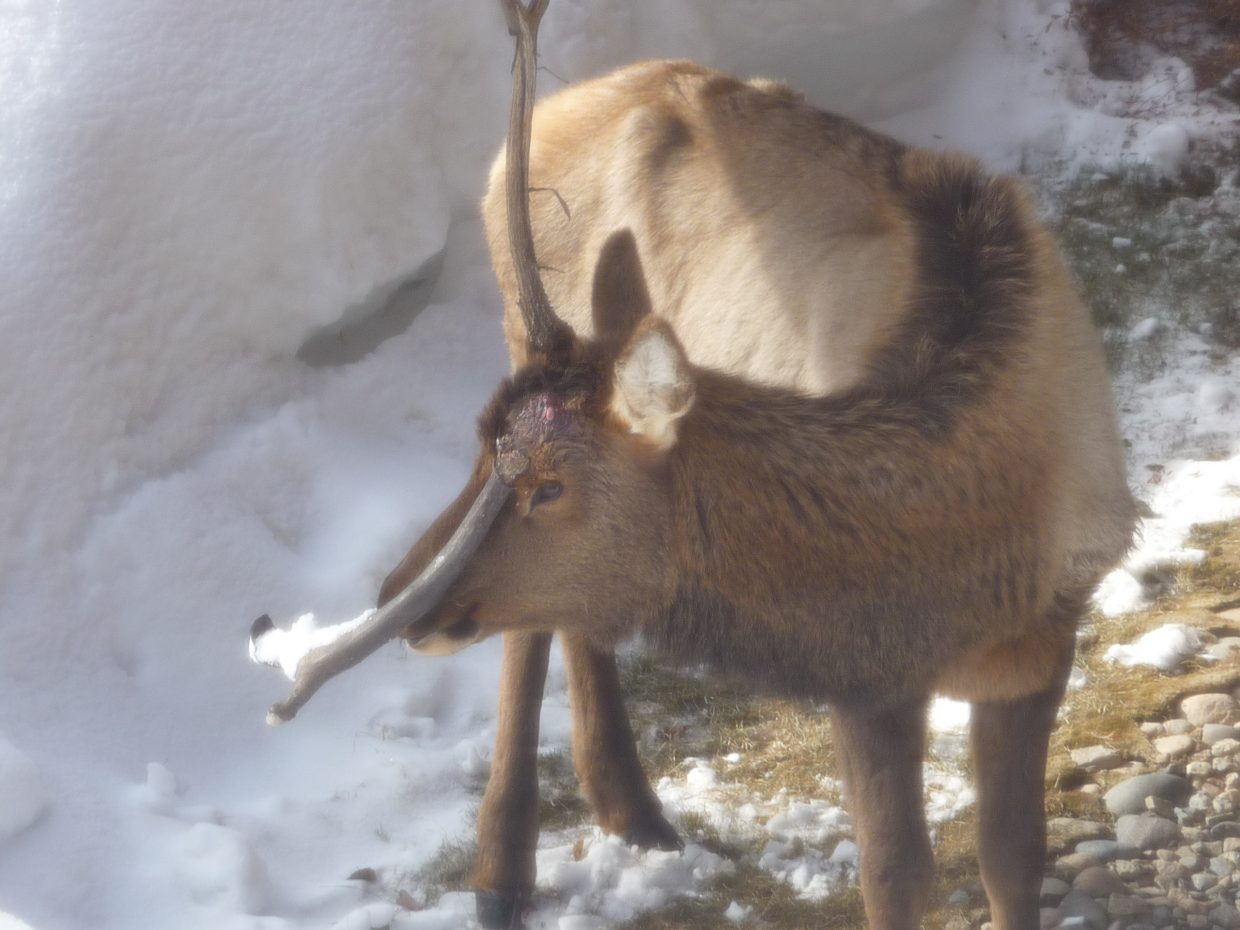 What happened to the antler? Submitted by Lois Dufner.