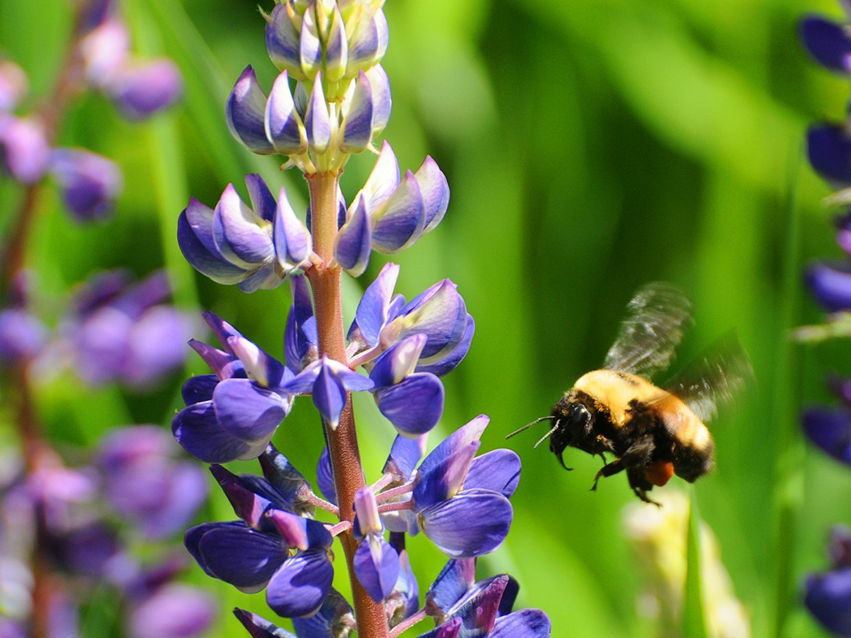 Bee and lupins at Rich Weiss Park. Submitted by: Jeff Hall