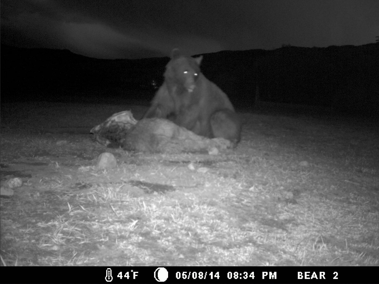 Bear eating a dead animal in Strawberry Park on Thursday night. Captured with a motion activated camera. Submitted by Kurt Casey.