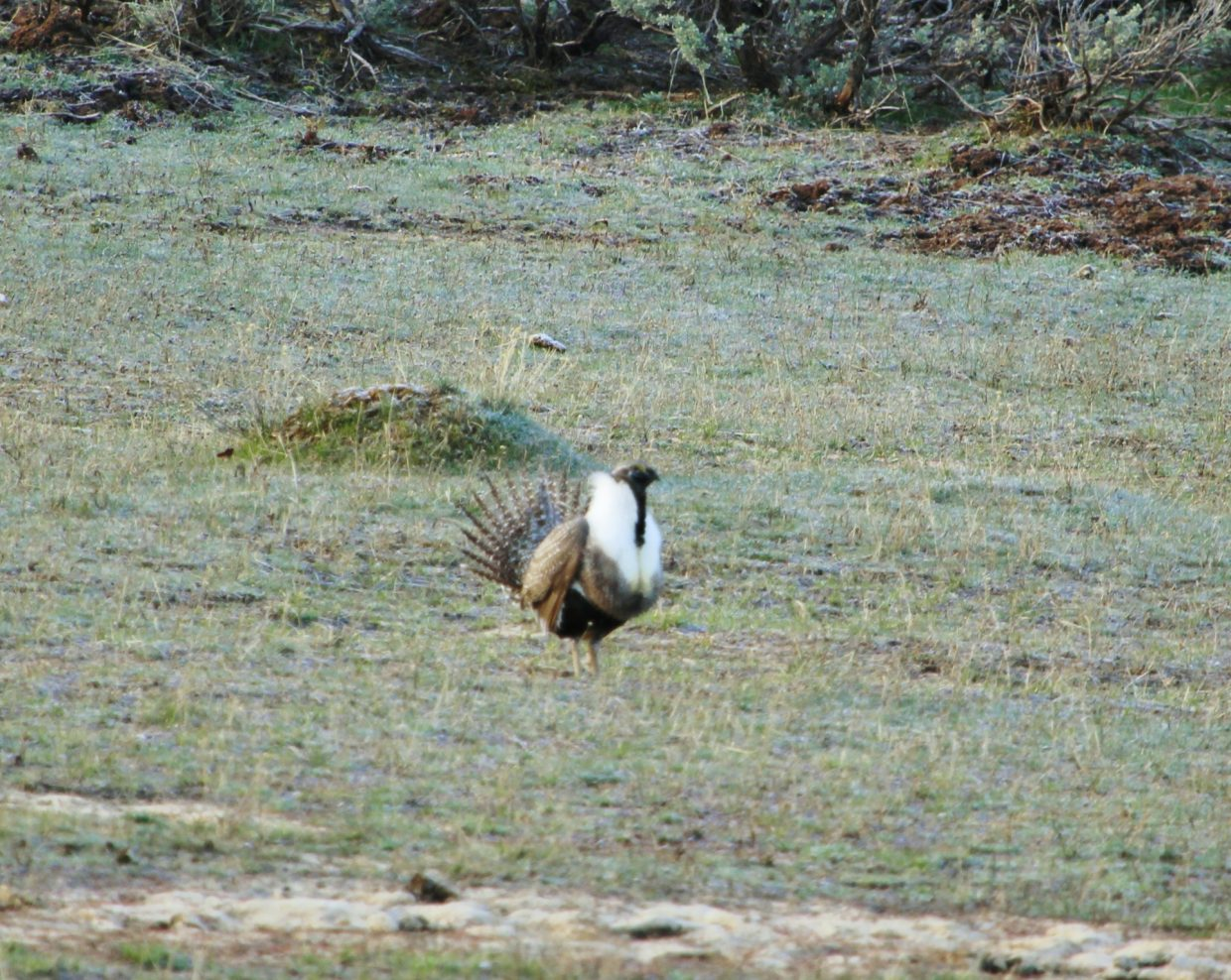 A greater sage grouse out running around enjoying the springtime weather. Submitted by Joe Pierce.