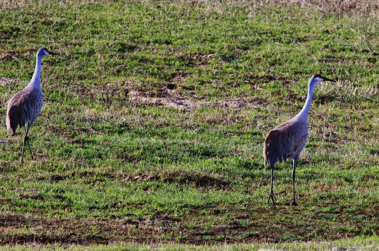 The beautiful sandhill crane taking a stroll in northwest Routt County. Submitted by: Joe Pierce