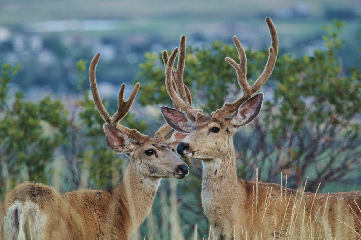 These bucks stood there and posed on top of the Cog in North Routt. Submitted by: Joe Pierce