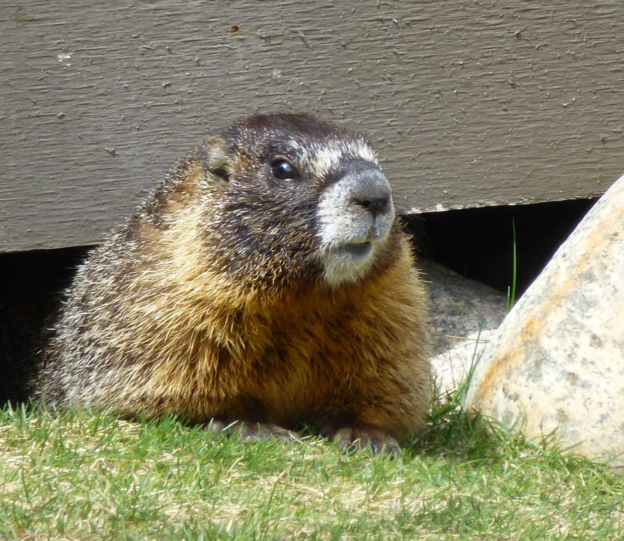 Marmot near Fish Creek. Submitted by: Gail Hanley