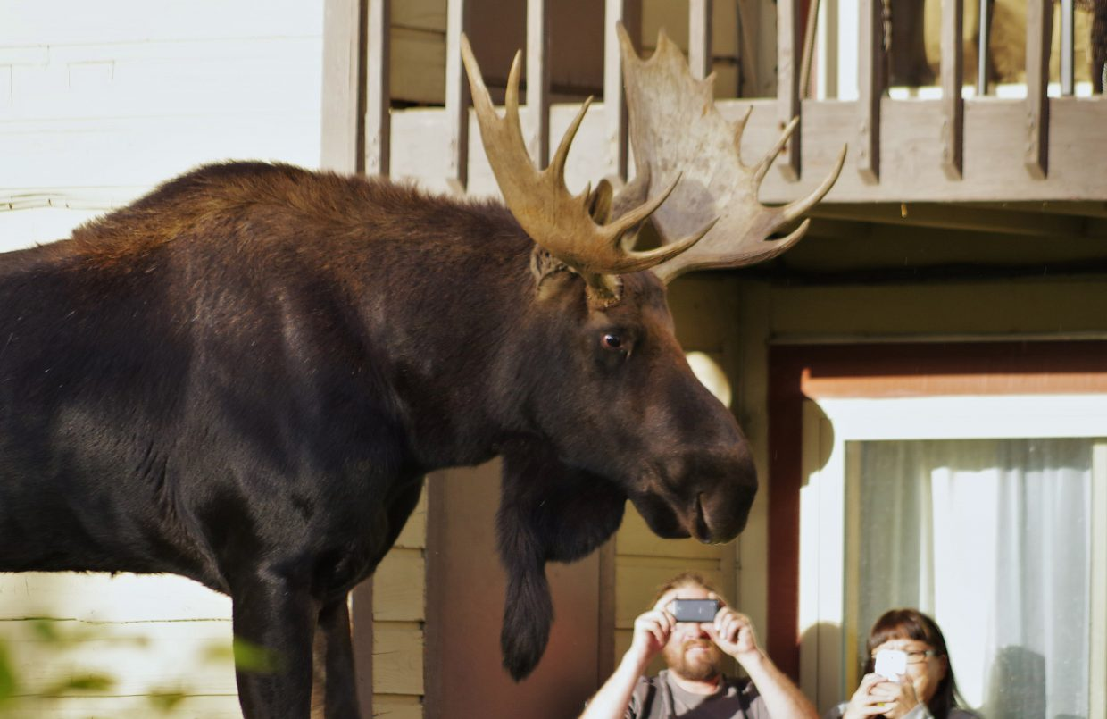 A large bull moose wows people taking photos from their balcony.