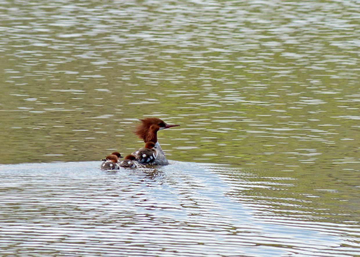 Momma Merganser giving a chick a ride at the Creek Ranch. Submitted by David Moulton.