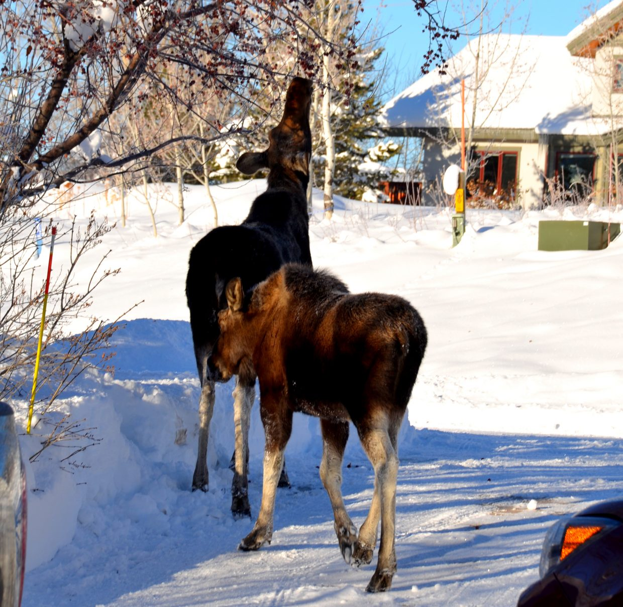 These two moose were on our front porch in Steamboat this morning, looking inside as we started to open presents! Submitted by: Shannon Lukens