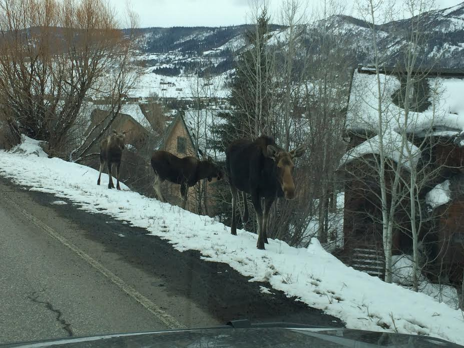 Moose strolling up Clubhouse Drive on Tuesday. Submitted by Michael Turner.
