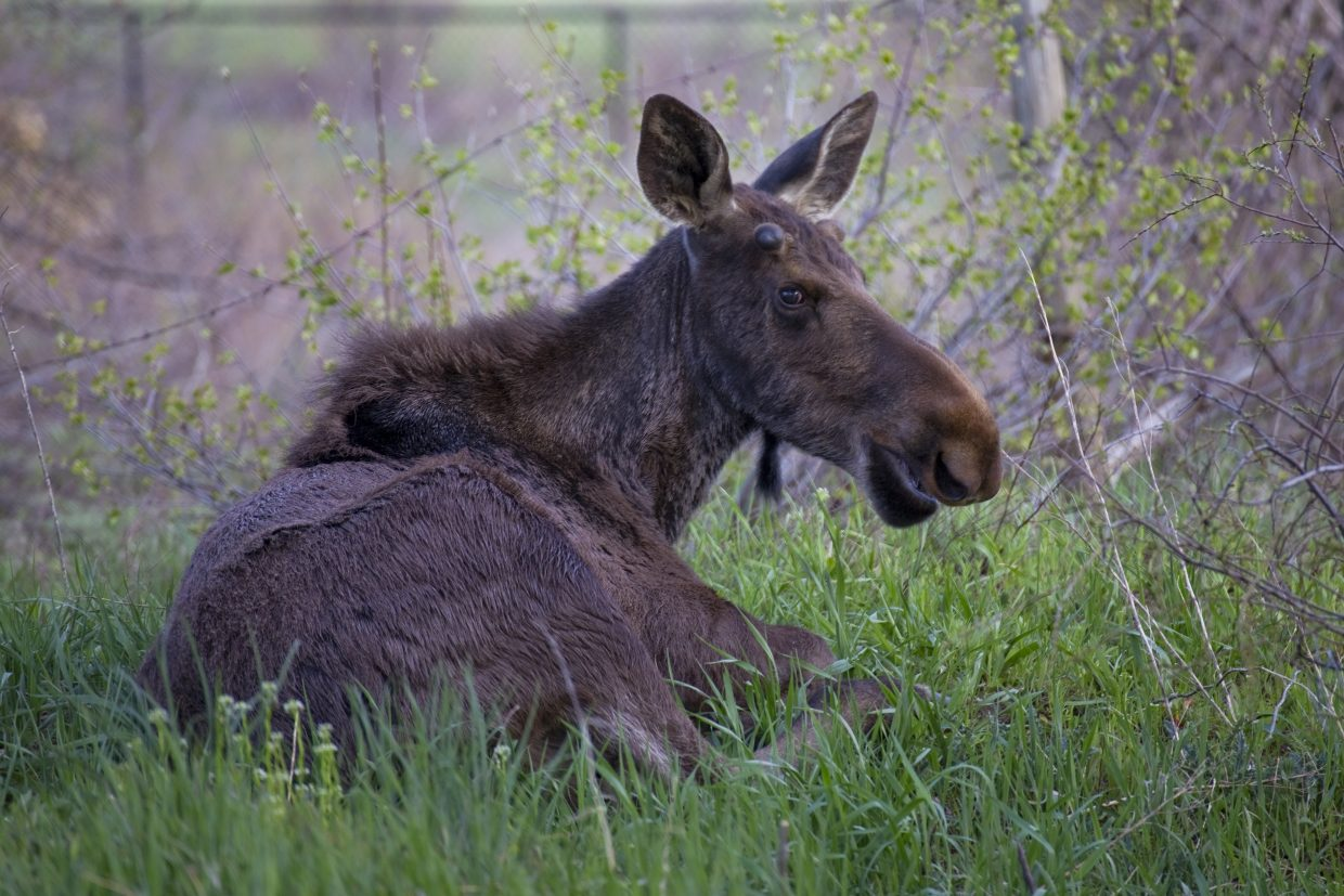 As if we haven't seen enough moose already this spring. Submitted by: Dan Tullos
