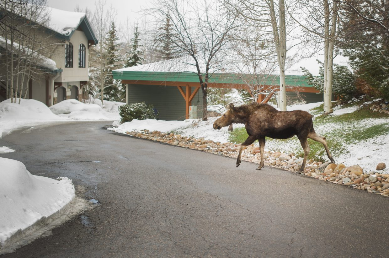 Moose crossing the street today by Storm Meadows Condo. Submitted by Jordan Matter.
