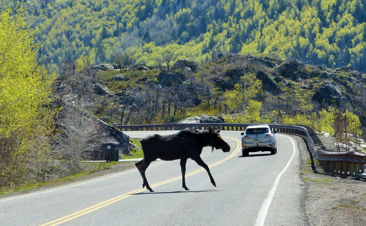 Here is a link on what to do if you cross paths with a moose. http://www.glacier-national-park-travel-guide.com/moose-attack.html. Submitted by Shannon Lunkens.