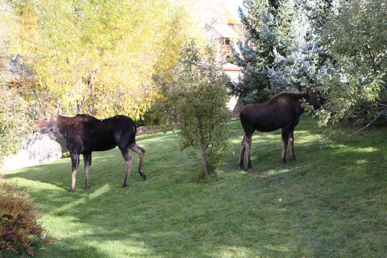 Moose in Apple Drive. Submitted by: John Kitchen