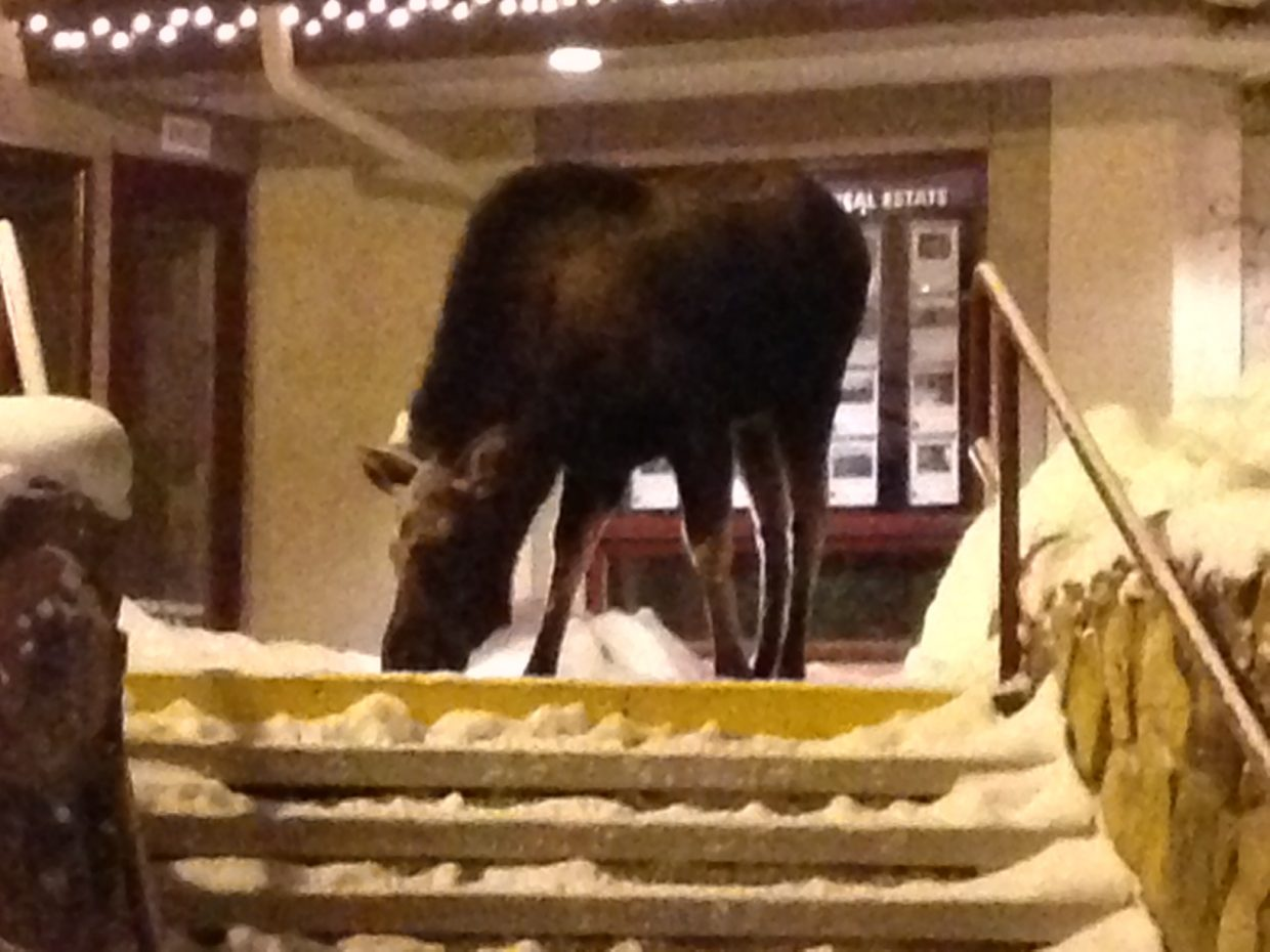 Moose in Ski Time Square on Saturday. Submitted by: Charles Chase