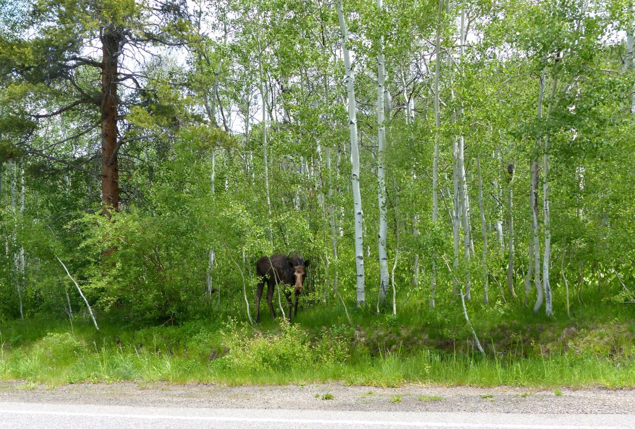 I just ran into this hungry moose on Steamboat Boulevard. This is exactly where the Ride the Rockies cyclists rode Tuesday! Good thing the moose wasn't there then to cheer them on. Submitted by: Shannon Lukens