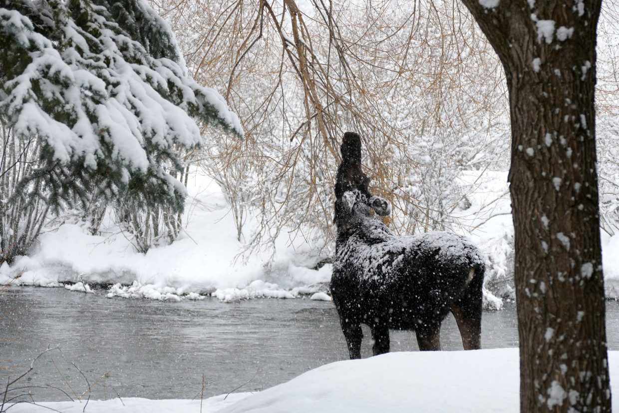 A moose was hanging out along the Yampa River, behind Steamboat Lawyers Group. Submitted by Shannon Lukens.