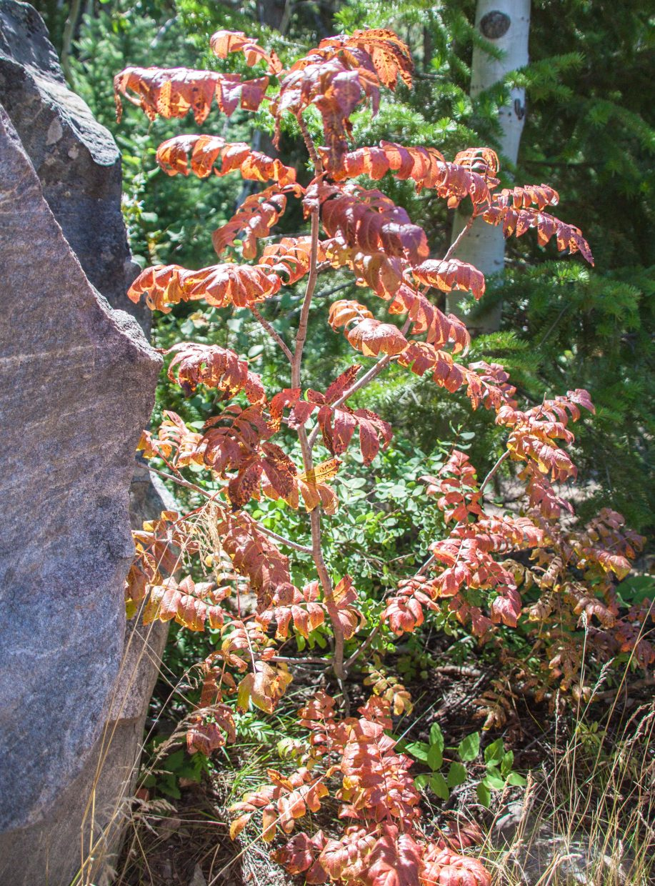 Signs of fall on Mt Werner: Mountain Ash turning red. Submitted by G. Fredric Reynolds.