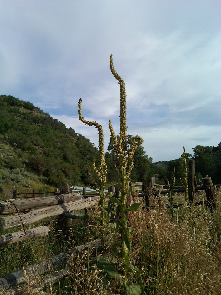 Mullein in Wolf Creek Canyon. Submitted by: Susan Viet
