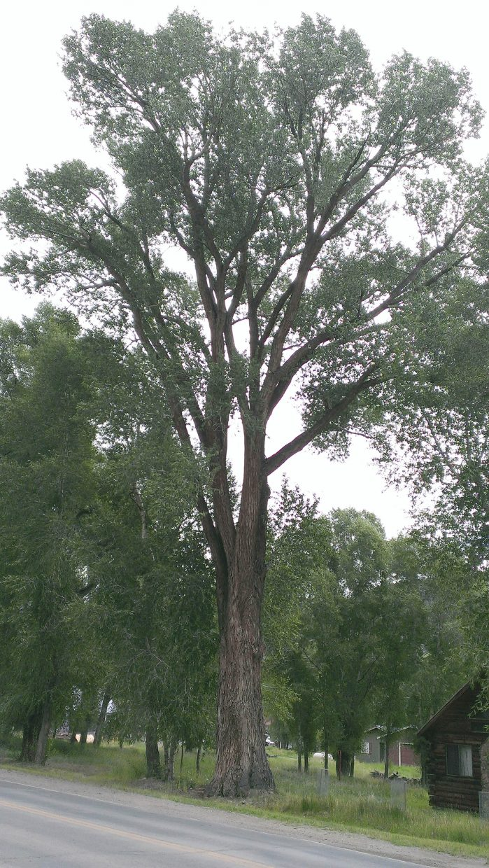 This narrlowleaf cottonwood in Lake City is listed as the national champion. It is 94 feet tall and has a circumference of 198 inches.