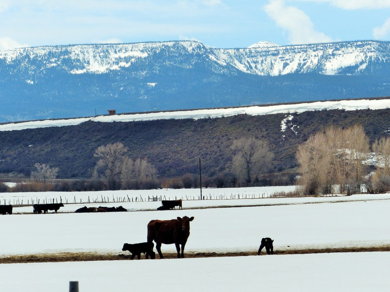 A mom and her newborn calves, just outside of Yampa. Submitted by: Shannon Lukens