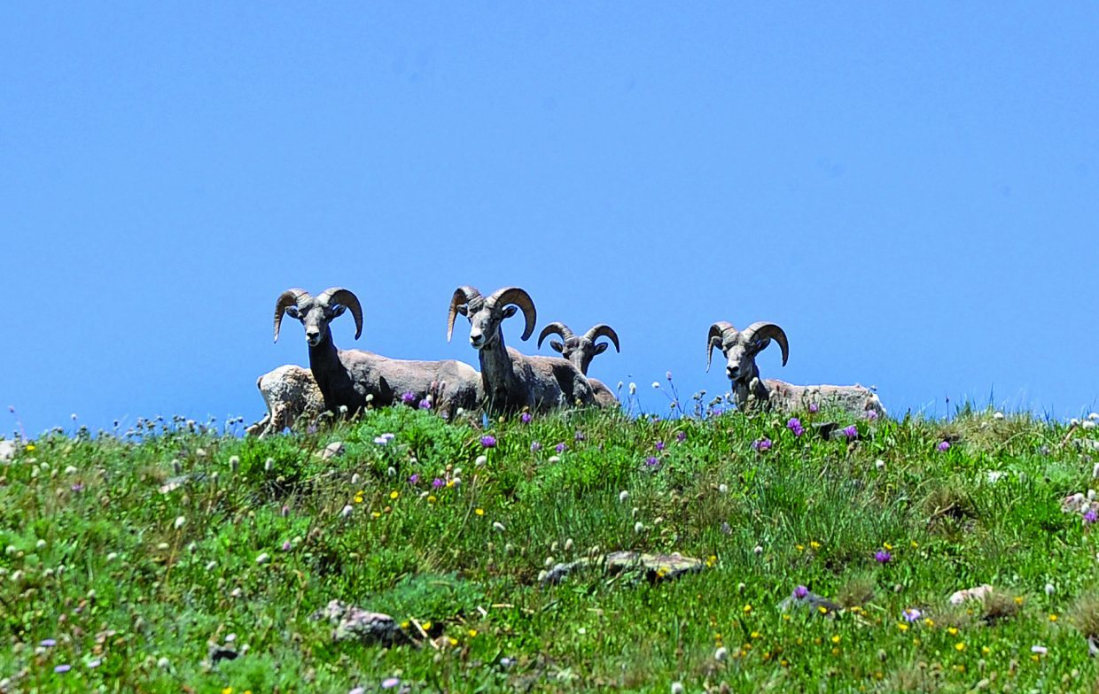 A herd of Rocky Mountain bighorn sheep stare down from a hillside near the summit of Mount Zirkel. The bighorns residing along the Continental Divide in the Park Range are the result of a reintroduction project where 41 bighorns were released into Red Canyon in 2005, about 20 miles west of Walden in Jackson County.