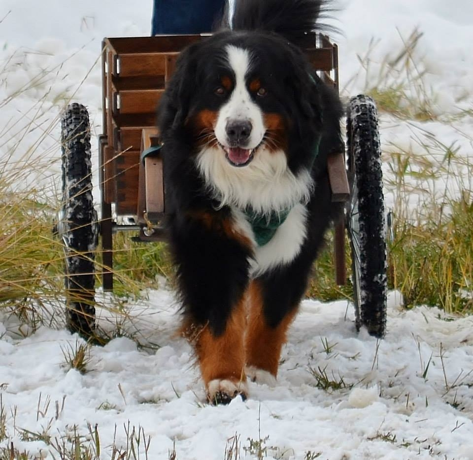 Bernese mountain dog draft test at Catamount. Submitted by: Barbara Clark