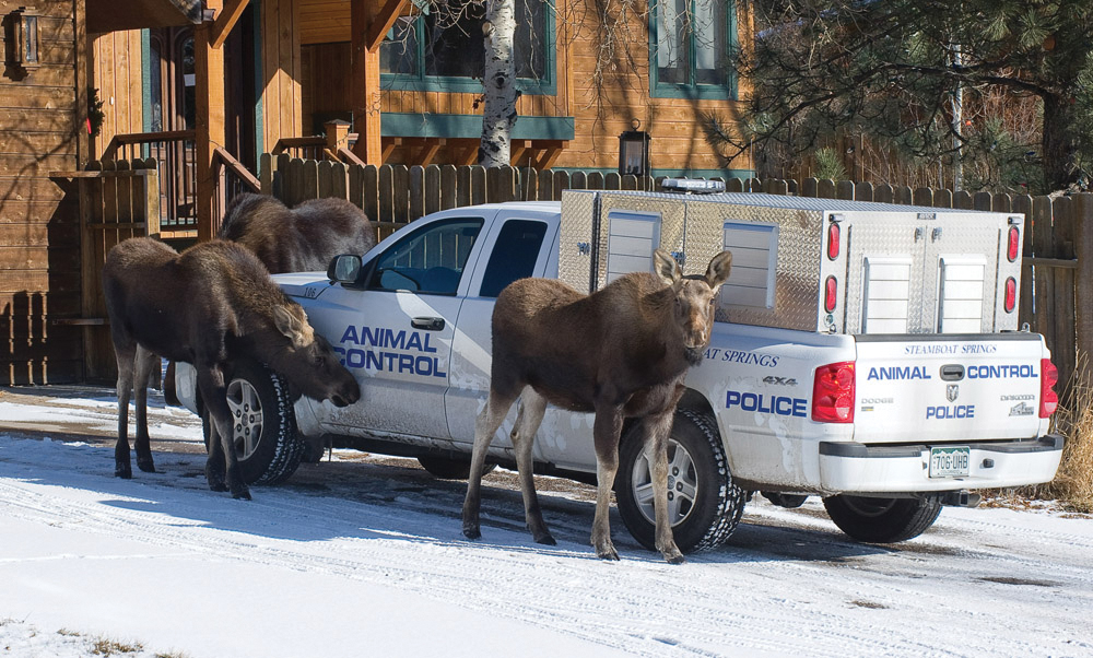 Dec. 2011 — In December 2011, I heard a report that moose were trapped in the backyard of a home on East Maple Street. When I arrived, an animal control officer was opening a gate that led into the backyard to allow the animals to walk out. She quickly jumped back into her truck, only to be surrounded by the moose, which spent several minutes licking the salt off her truck. I've photographed moose in Steamboat Springs for years and have learned they are unpredictable and very dangerous. I was shooting with a 300-mm lens from a safe distance.