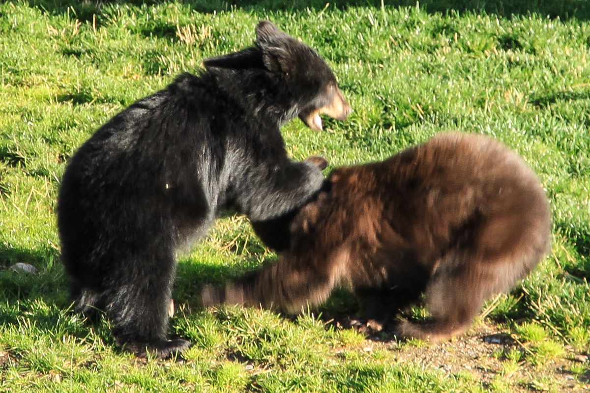 One bear cub gives the other a facial. Submitted by G Fredric Reynolds.
