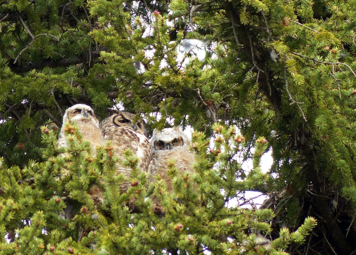 Great Horned Owl flanked by two young owlets in downtown Steamboat Springs. Submitted by David Moulton.