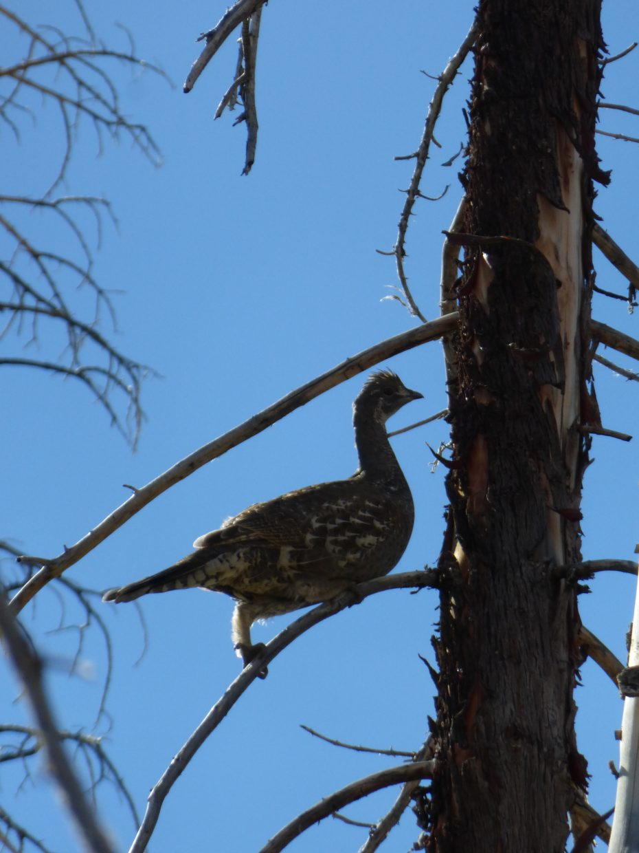 Our dogs kicked up this grouse on the North Lake Trail. Submitted by: Jim Balthaser
