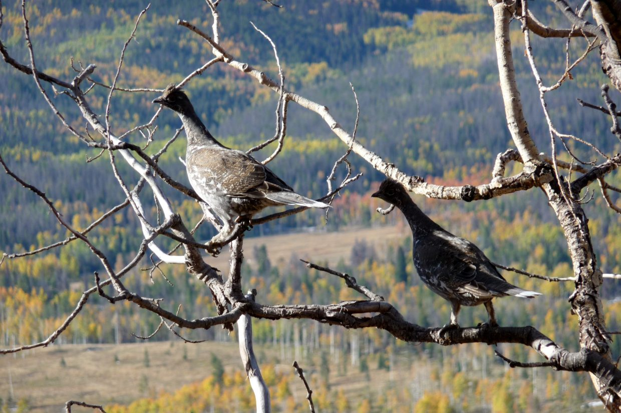 Jim Balthaser, got this picture of some grouse while he and his wife, Anita, were hiking the Silver Creek Trail on Tuesday. Submitted by: Anita Balthaser
