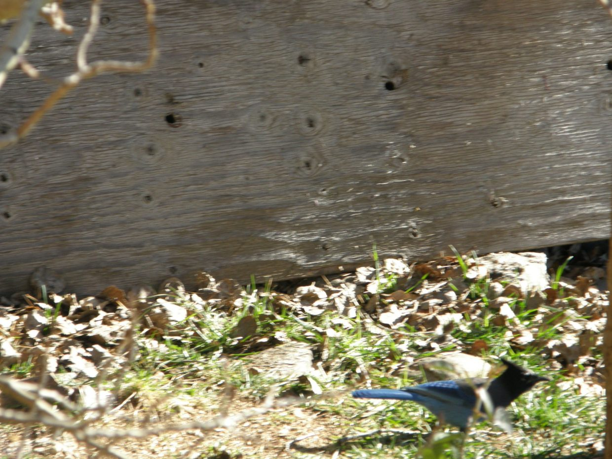 The elusive Stellar Jays. Submitted by: Roxanne Pranger