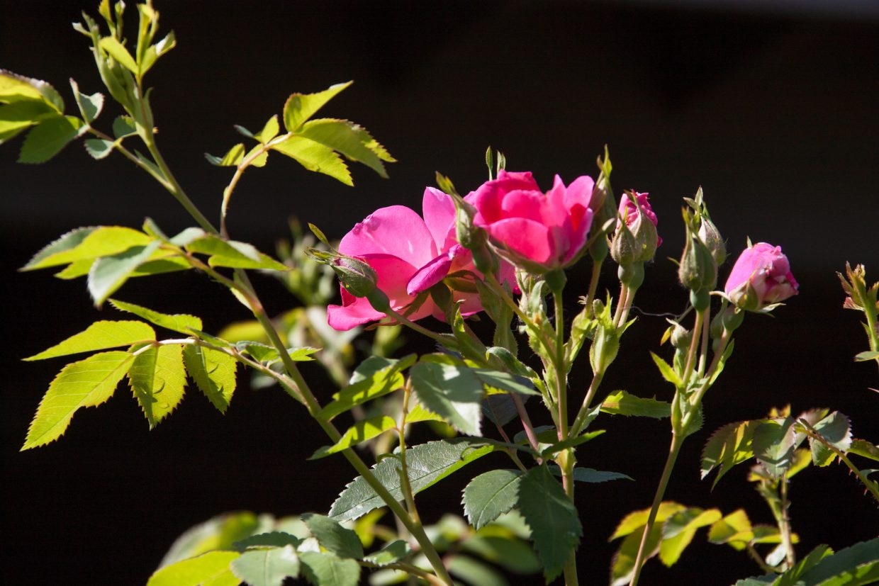 Pink roses with morning dew. (Taken on the Bear Creek trail 7-16-14.) Submitted by: G Frederic Reynolds