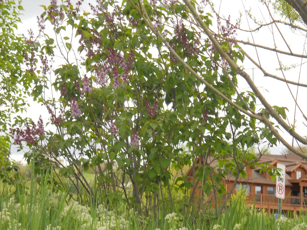 Lilacs. Submitted by Roxanne Pranger.