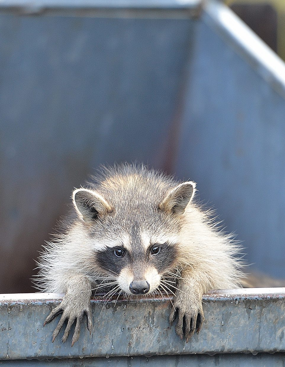 A racoon looks to make his escape from a dumpster Tuesday morning in downtown Steamboat Springs. The employees of a nearby business were kind enough to place a board in the dumpster so the animals could make it out.