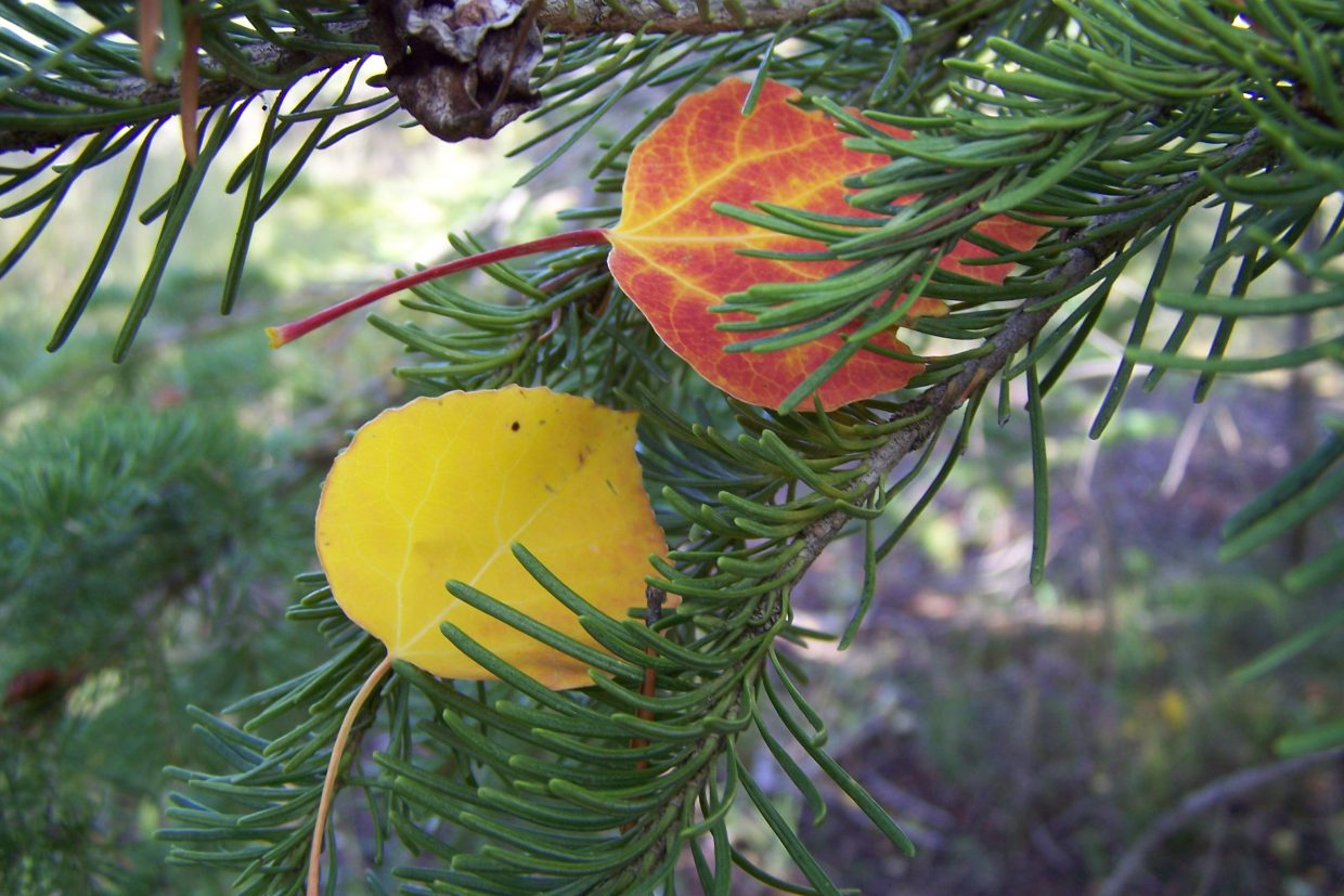 I love the contrast of aspen leaves that have been blown into blue spruces during the fall. Submitted by: Joanne Stanko