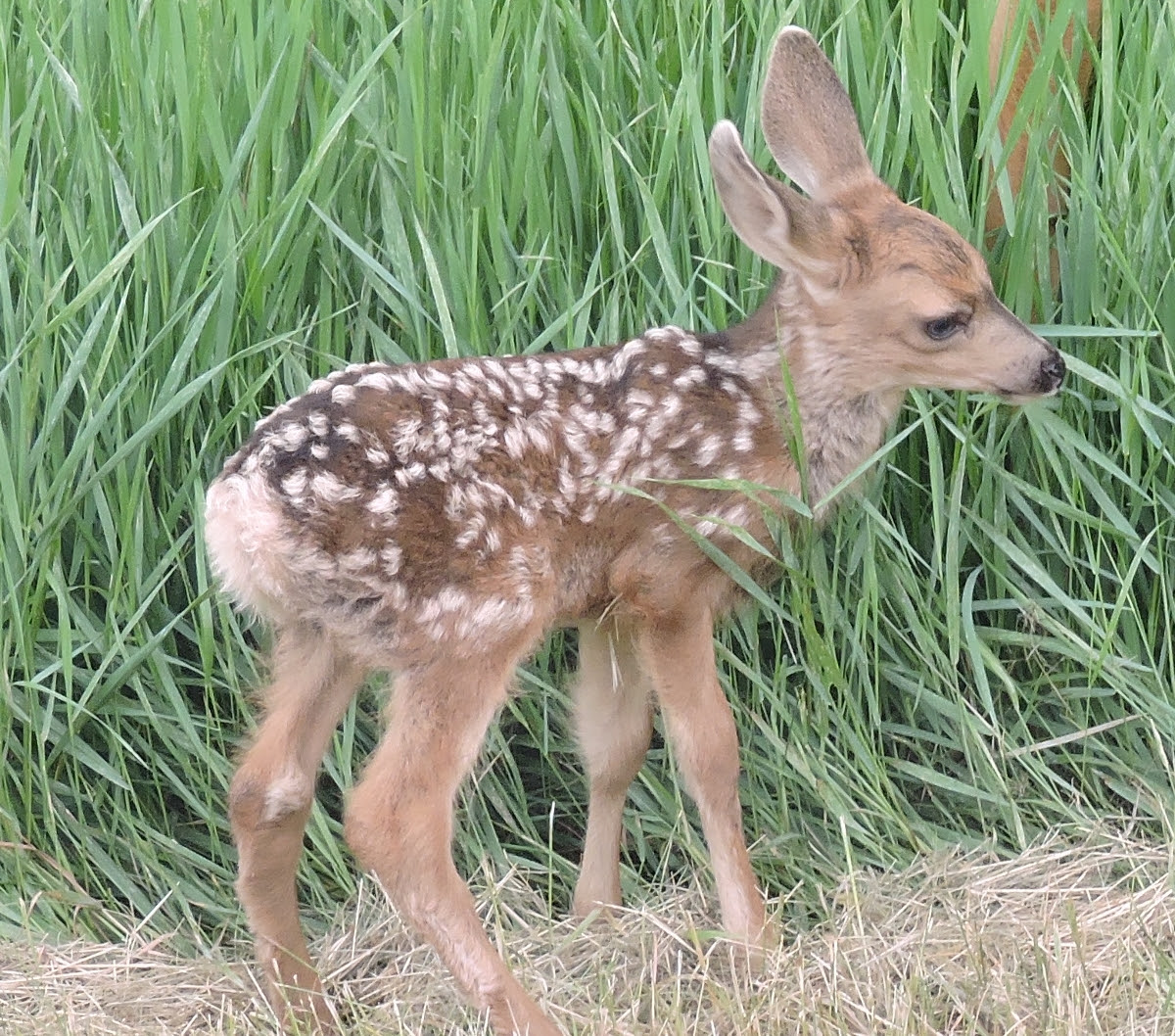A fawn. Submitted by Rhys Jones.
