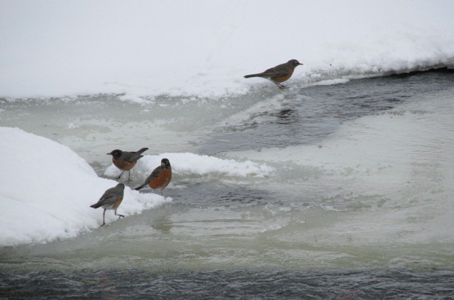 Robins enjoying the rushing waters of the Yampa on Wednesday. Submitted by Robert Burks.