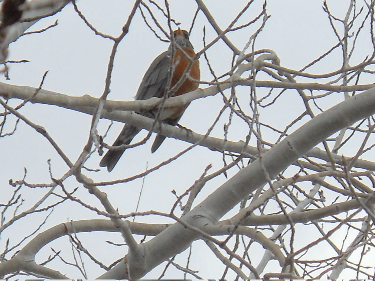 On the first day of spring: one of the first robins of the season. Submitted by Roxanne Pranger.